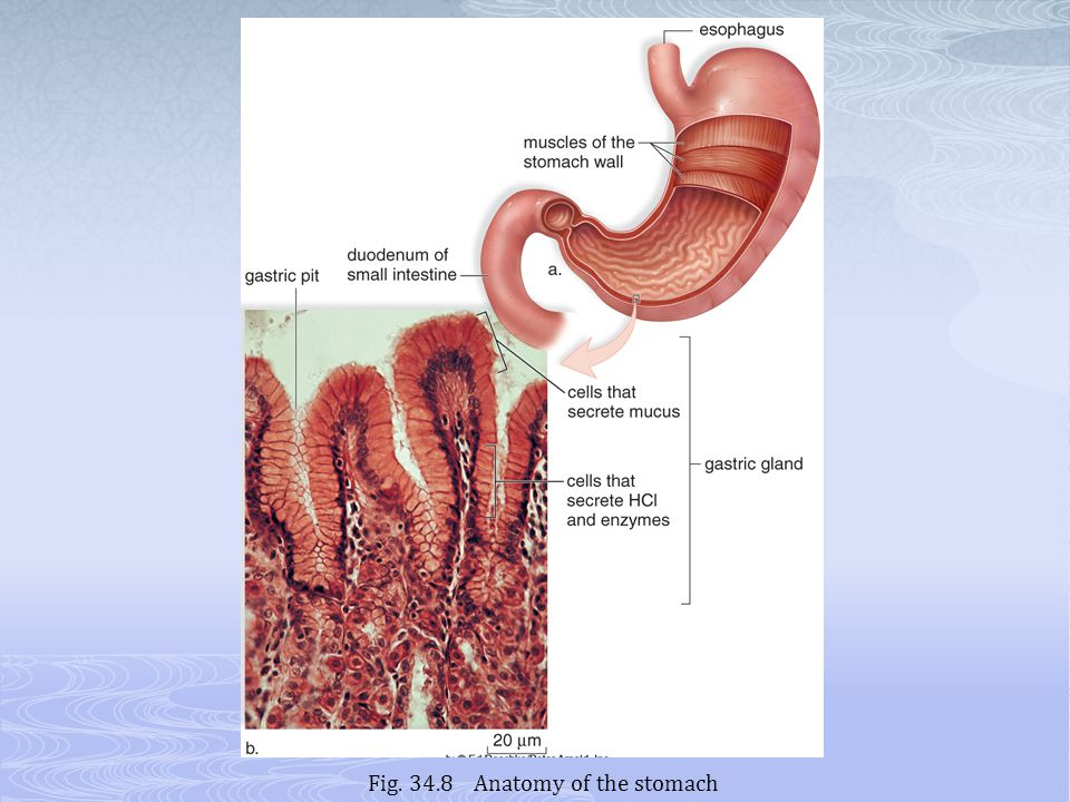 Fig. 34.8 Anatomy of the stomach