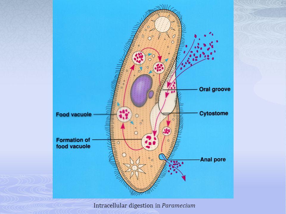 Intracellular digestion in Paramecium