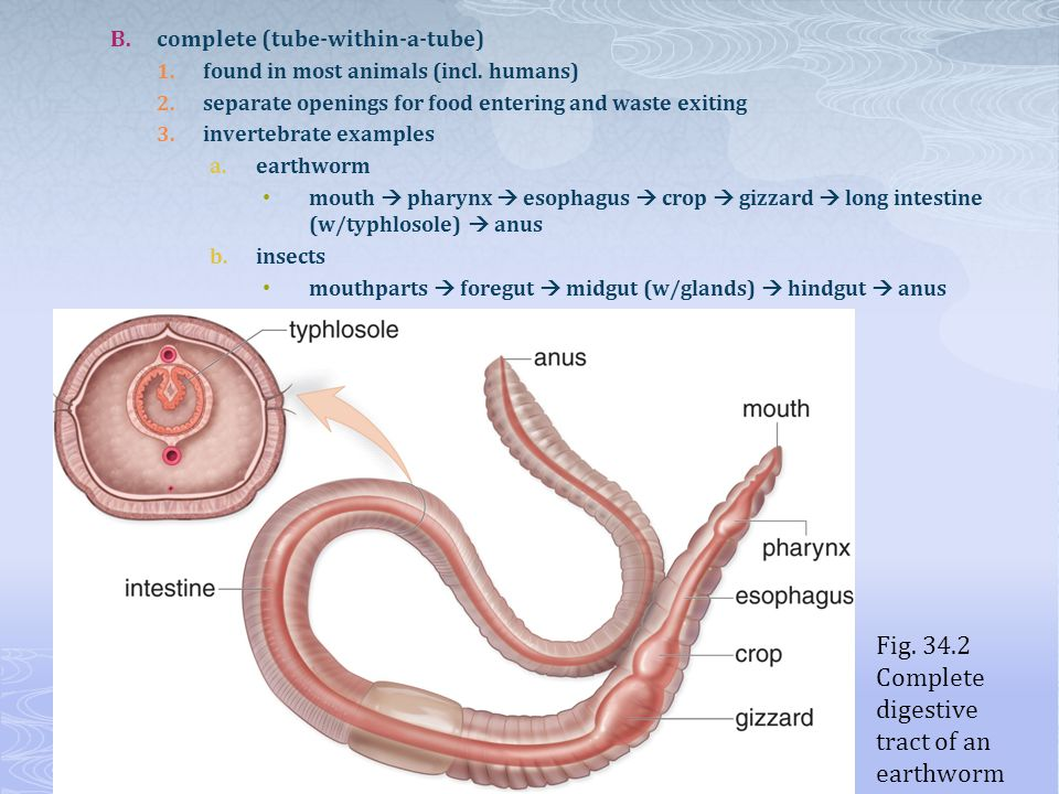 Fig. 34.2 Complete digestive tract of an earthworm