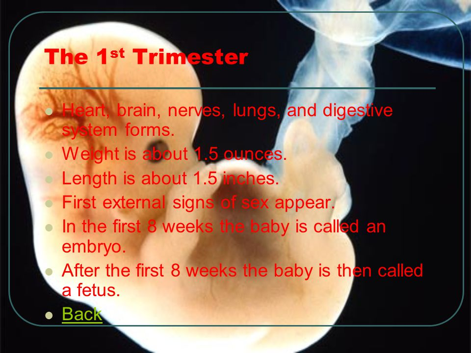 The 1st Trimester Heart, brain, nerves, lungs, and digestive system forms. Weight is about 1.5 ounces.