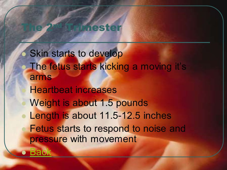 The 2nd Trimester Skin starts to develop