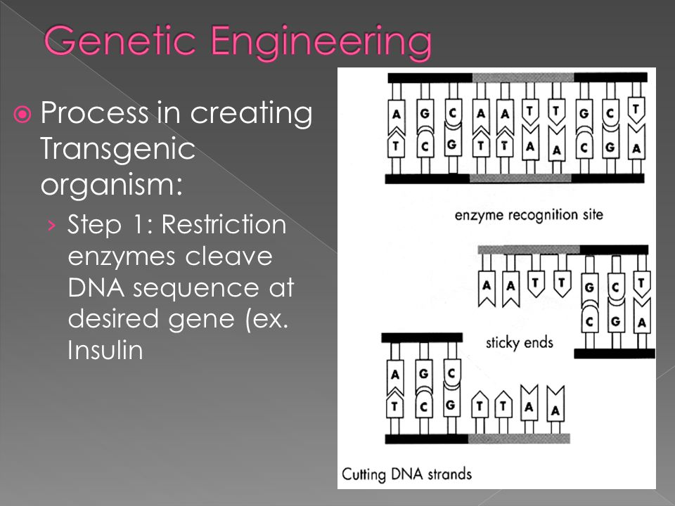 Genetic Engineering Process in creating Transgenic organism: