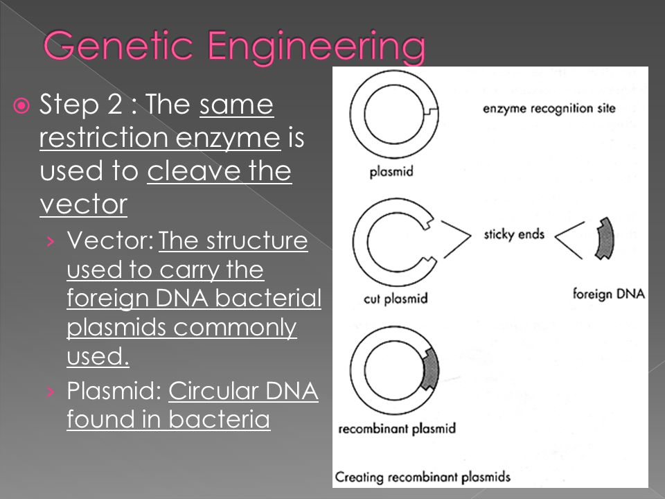 Genetic Engineering Step 2 : The same restriction enzyme is used to cleave the vector.