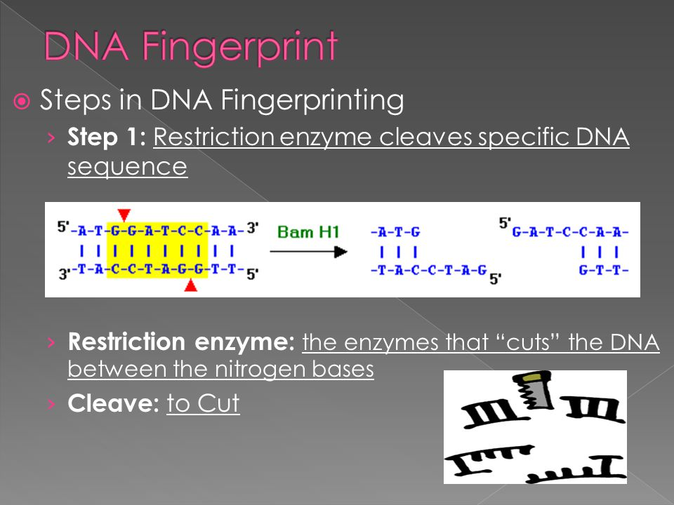 DNA Fingerprint Steps in DNA Fingerprinting