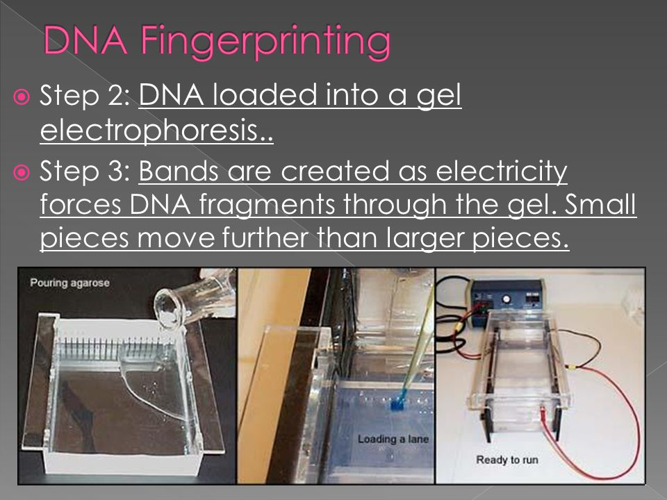 DNA Fingerprinting Step 2: DNA loaded into a gel electrophoresis..