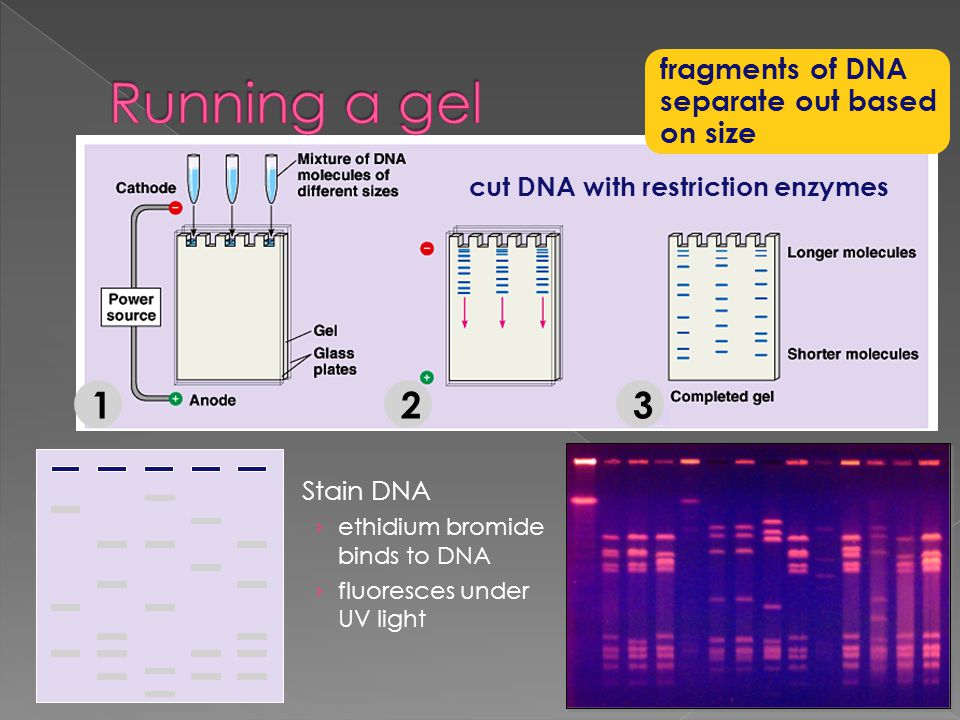 Running a gel 1 2 3 fragments of DNA separate out based on size