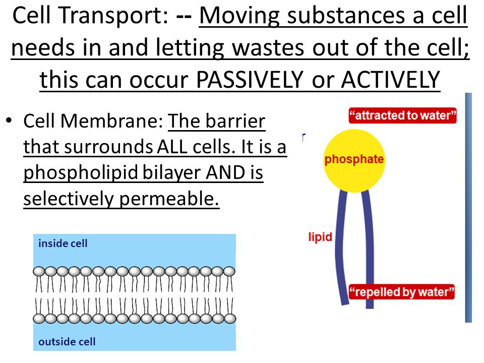 cell transport mechanisms and permeability review sheet Mechanisms and cell permeability _ wet lab exercise the cell: transport mechanisms and cell if available) videotape viewing box physioex 50 write your review of: physioex 90 exercise 5 review sheet.
