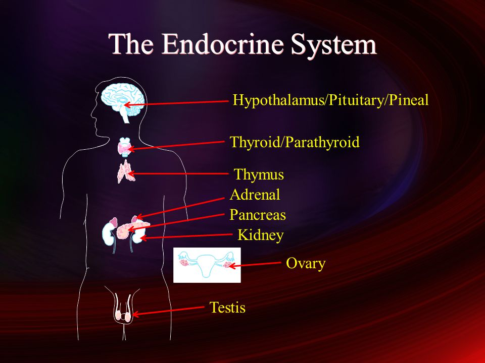 The Endocrine System Hypothalamus/Pituitary/Pineal Thyroid/Parathyroid
