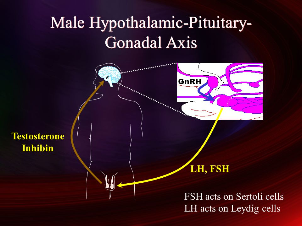 Male Hypothalamic-Pituitary-Gonadal Axis