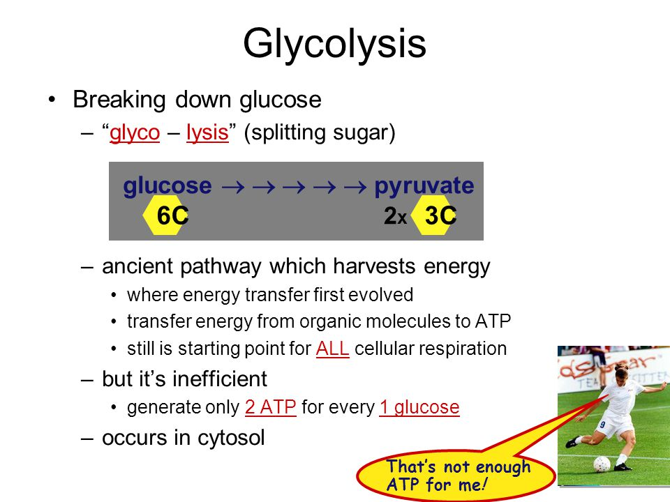 Glycolysis 6C 3C Breaking down glucose glucose      pyruvate 2x
