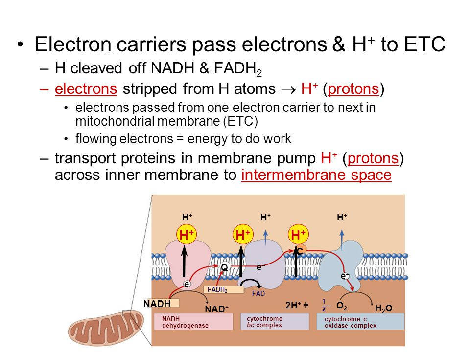 Electron carriers pass electrons & H+ to ETC