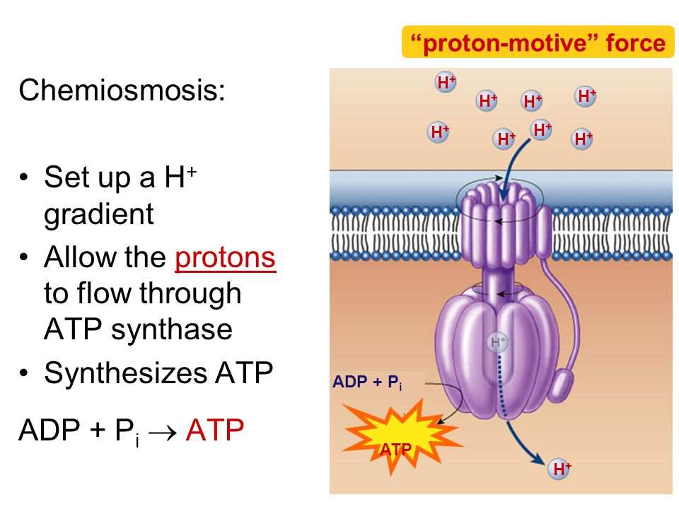Allow the protons to flow through ATP synthase
