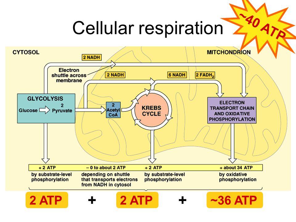 ~40 ATP Cellular respiration + + 2 ATP 2 ATP ~36 ATP