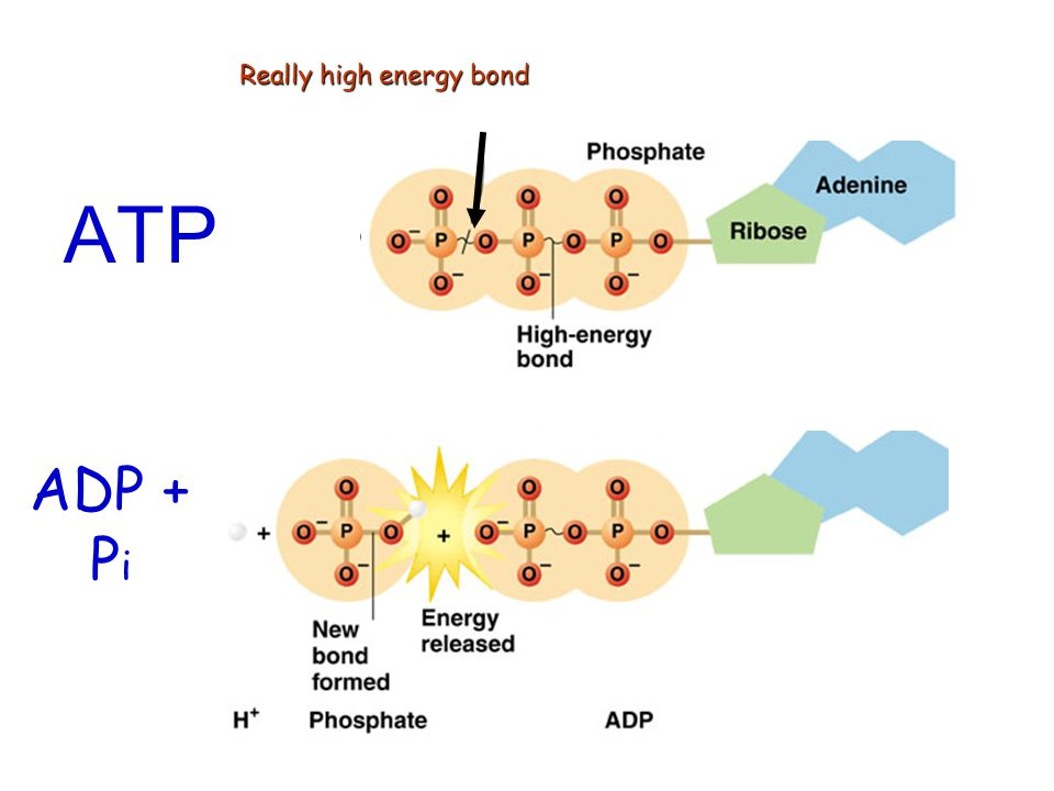ATP ADP + Pi Really high energy bond