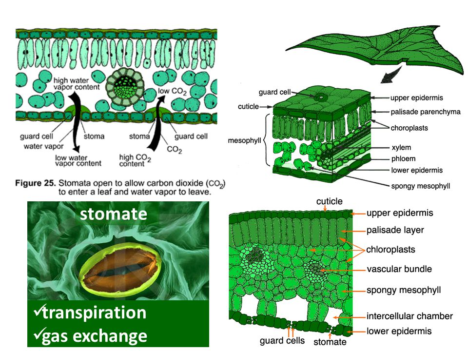 stomate transpiration gas exchange