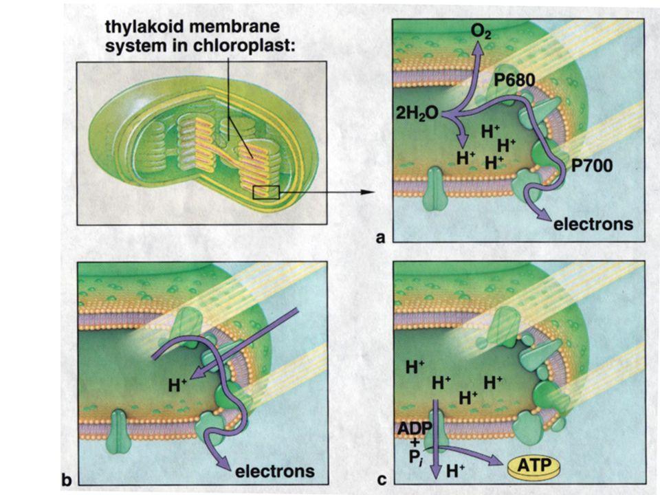 Thylakoid Structure