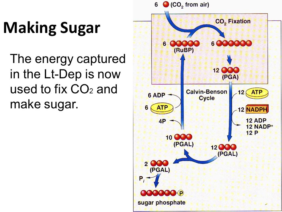 Making Sugar The energy captured in the Lt-Dep is now used to fix CO2 and make sugar. Stage 1. Fix CO2 to RuBP.