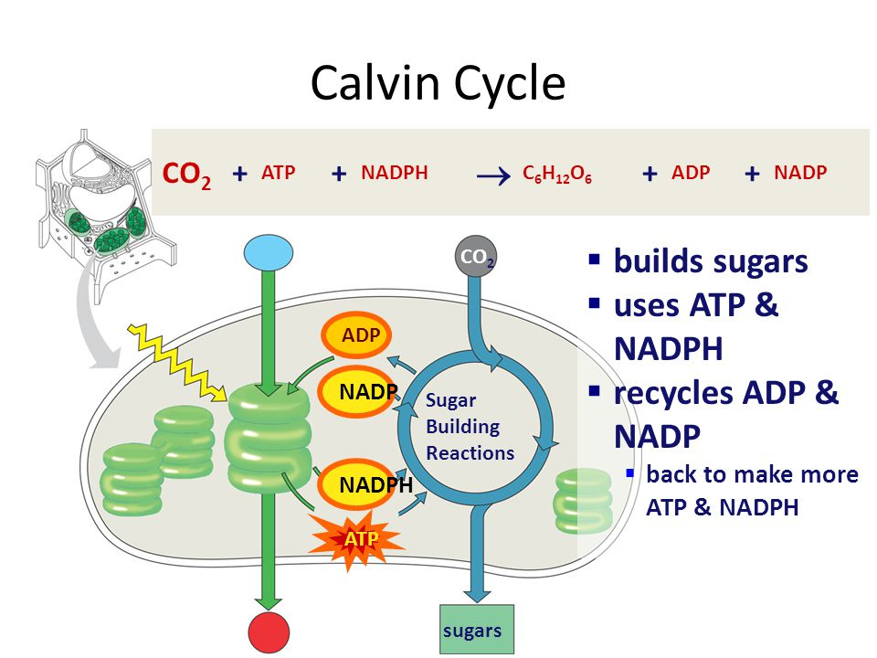 Calvin Cycle  builds sugars uses ATP & NADPH recycles ADP & NADP CO2