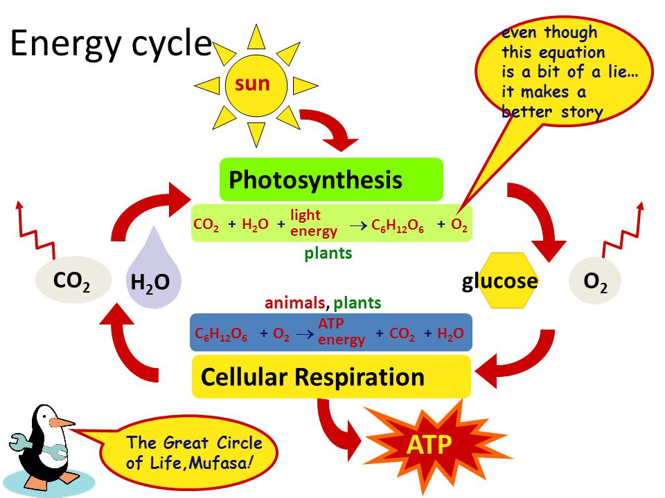 Energy cycle ATP Photosynthesis Cellular Respiration sun CO2 O2 H2O