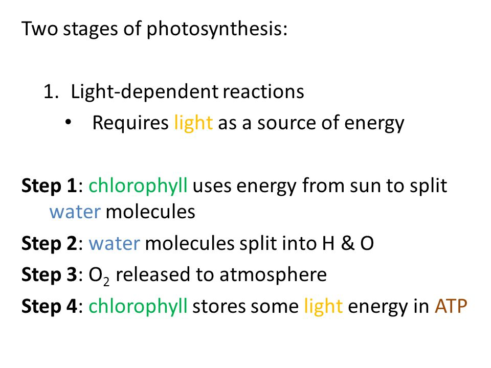 Two stages of photosynthesis: