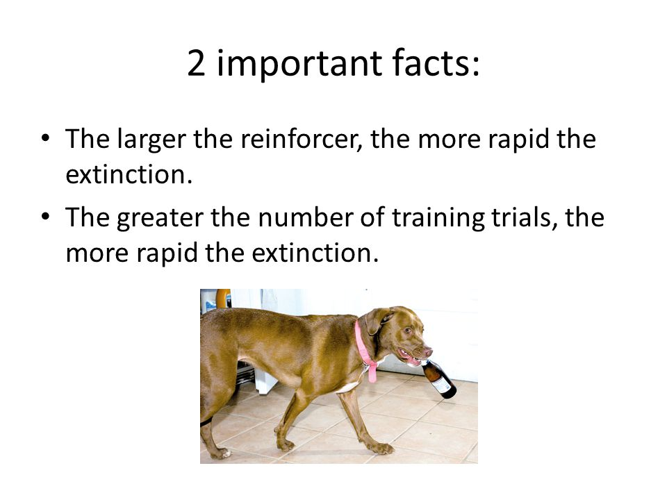 2 important facts: The larger the reinforcer, the more rapid the extinction.