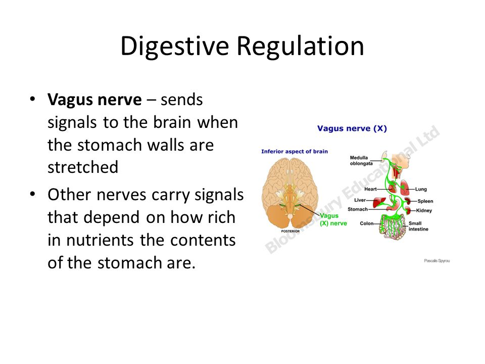 Digestive Regulation Vagus nerve – sends signals to the brain when the stomach walls are stretched.