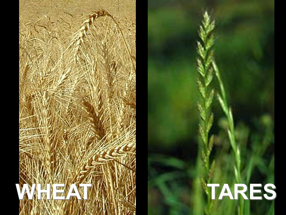 WHEAT TARES Read 13:24-30, then expound.