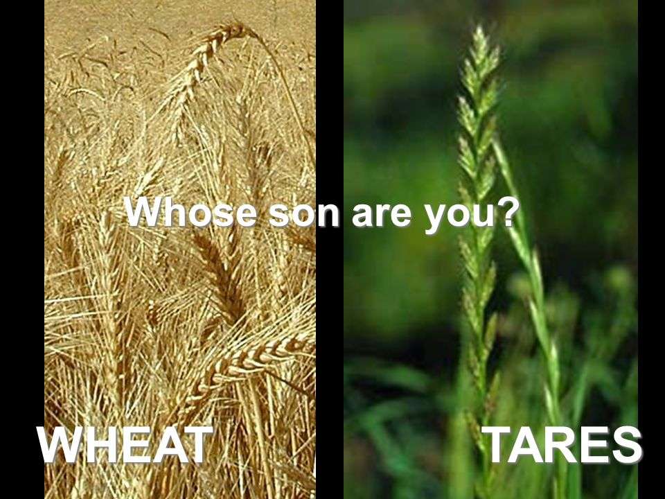 WHEAT TARES Whose son are you Tares are called darnel or false wheat.