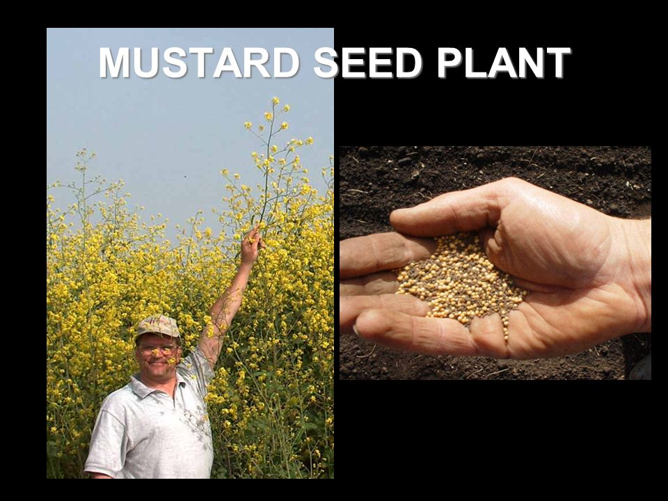 MUSTARD SEED PLANT