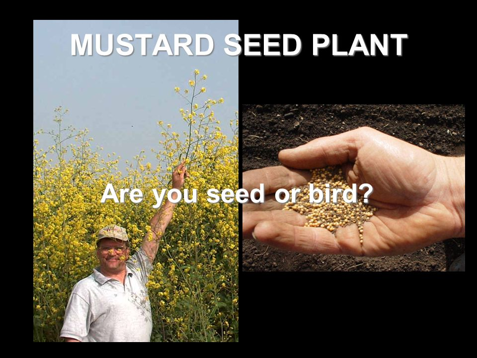 MUSTARD SEED PLANT Are you seed or bird