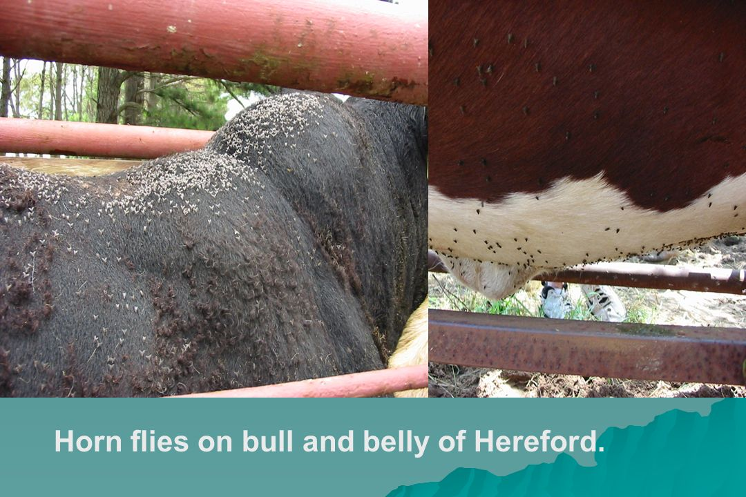 Horn flies on bull and belly of Hereford.