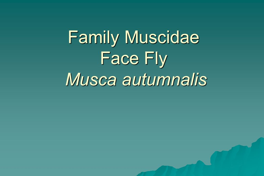 Family Muscidae Face Fly Musca autumnalis