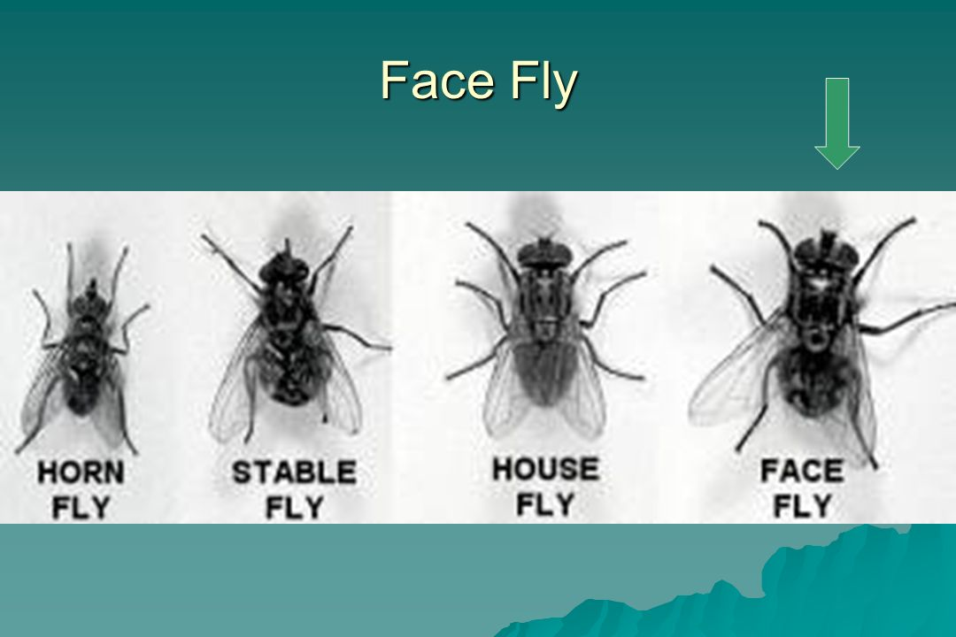 Face Fly This shows the relative size of the face fly.
