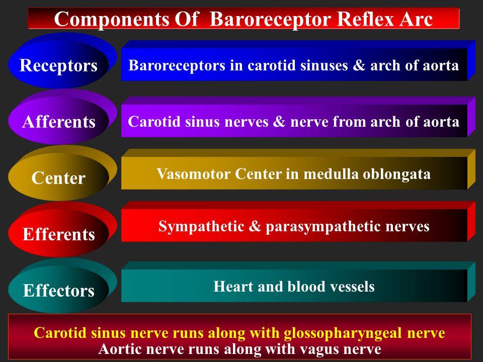 Components Of Baroreceptor Reflex Arc