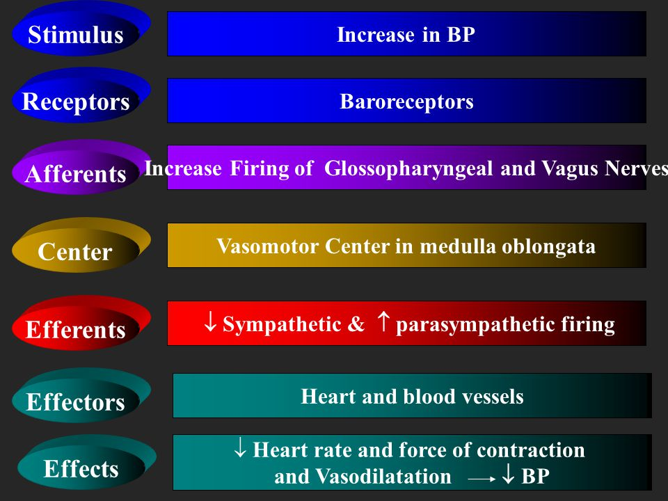 Vasomotor Center in medulla oblongata Heart and blood vessels