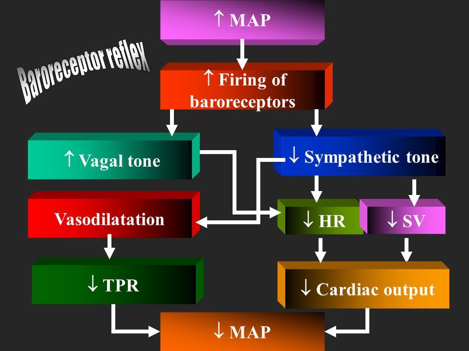 Baroreceptor reflex Baroreceptor reflex  MAP  Firing of