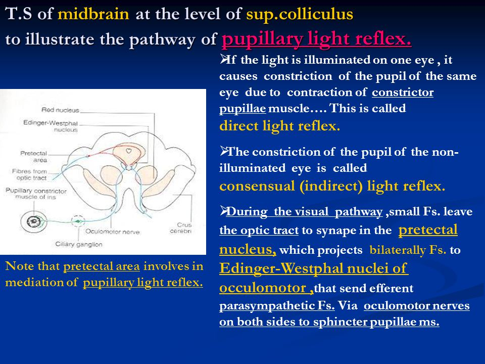 T. S of midbrain at the level of sup