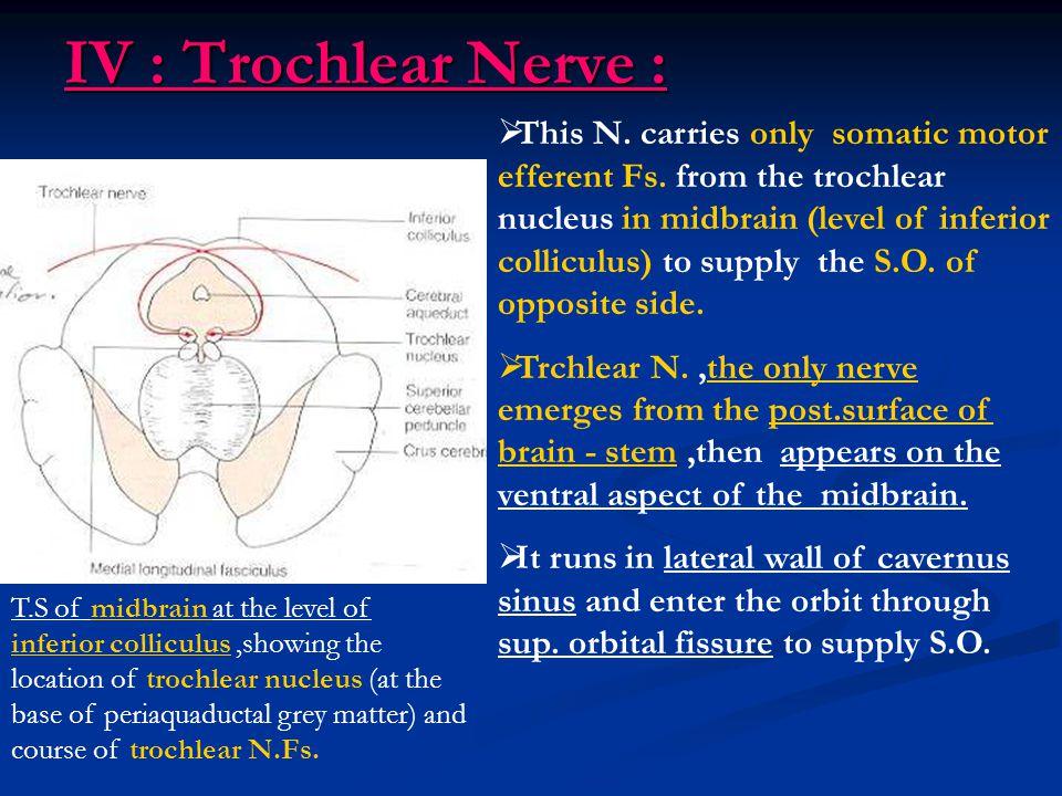 IV : Trochlear Nerve :