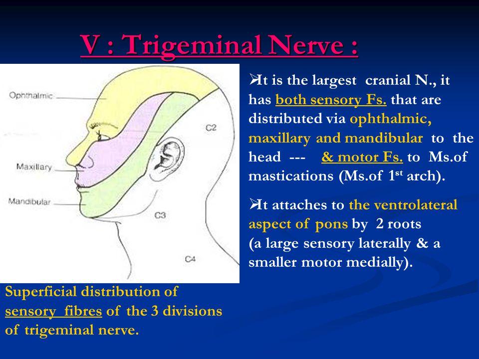 V : Trigeminal Nerve :