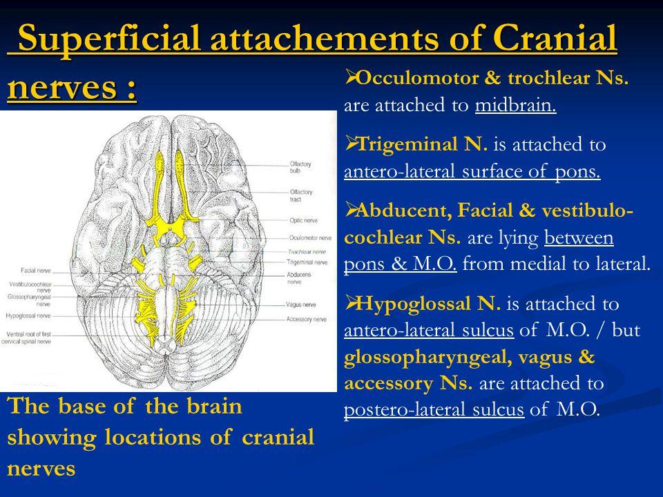 Superficial attachements of Cranial nerves :