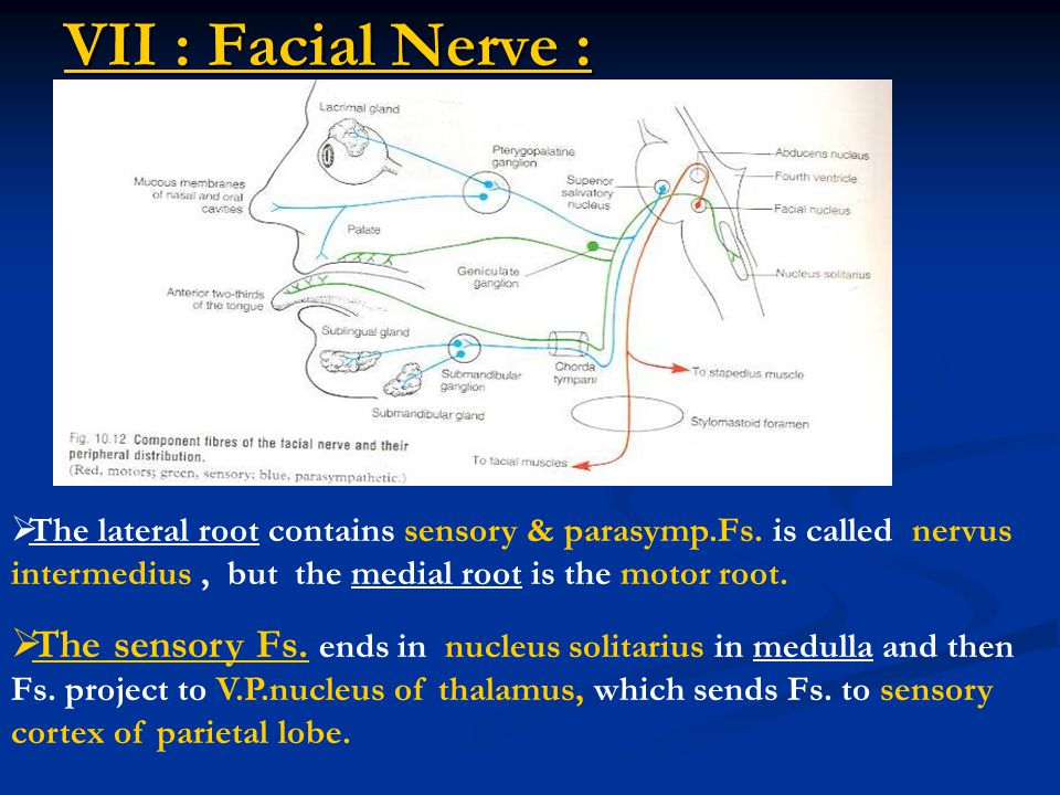 VII : Facial Nerve : The lateral root contains sensory & parasymp.Fs. is called nervus intermedius , but the medial root is the motor root.