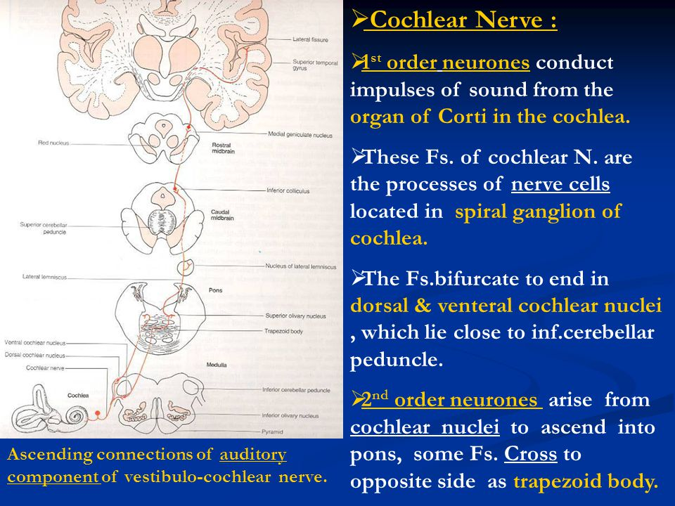 Cochlear Nerve : 1st order neurones conduct impulses of sound from the organ of Corti in the cochlea.
