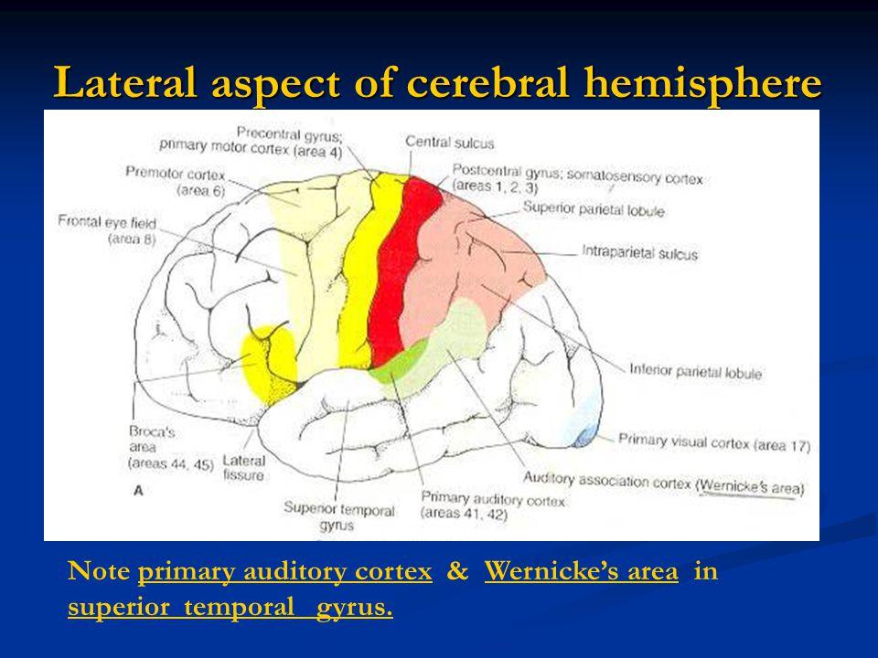 Lateral aspect of cerebral hemisphere