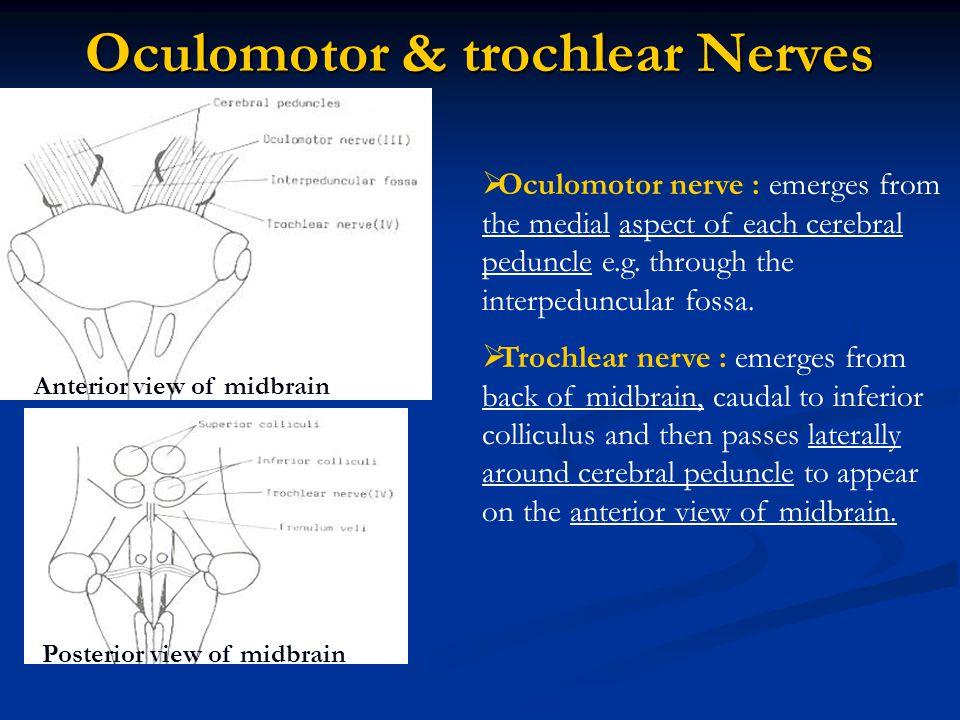 Oculomotor & trochlear Nerves