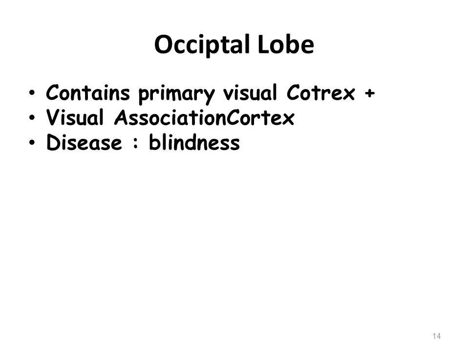 Occiptal Lobe Contains primary visual Cotrex +