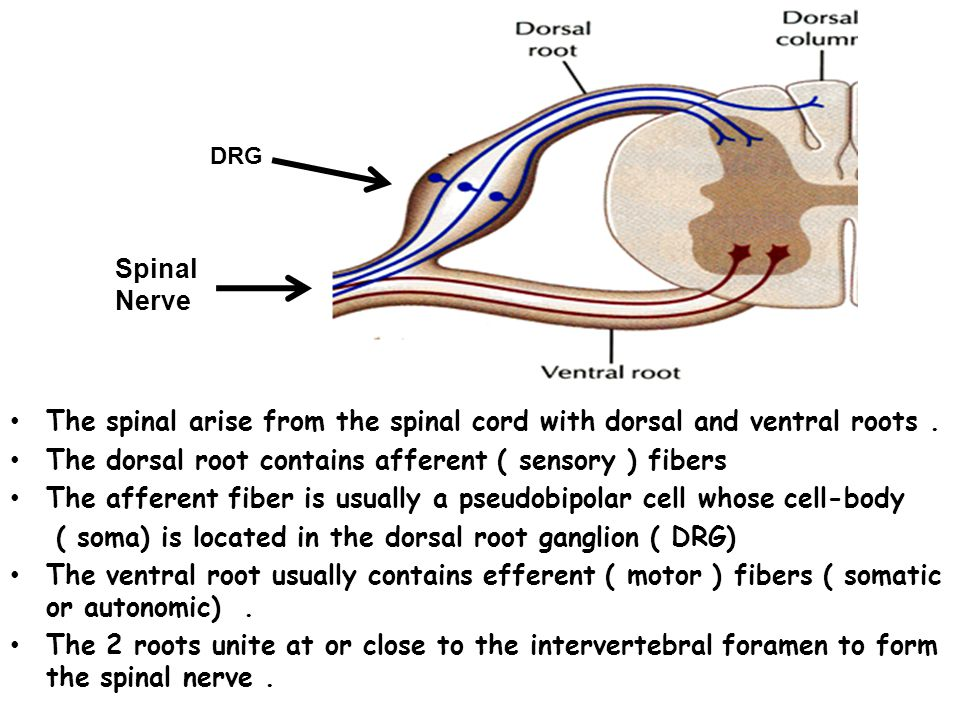 The spinal arise from the spinal cord with dorsal and ventral roots .