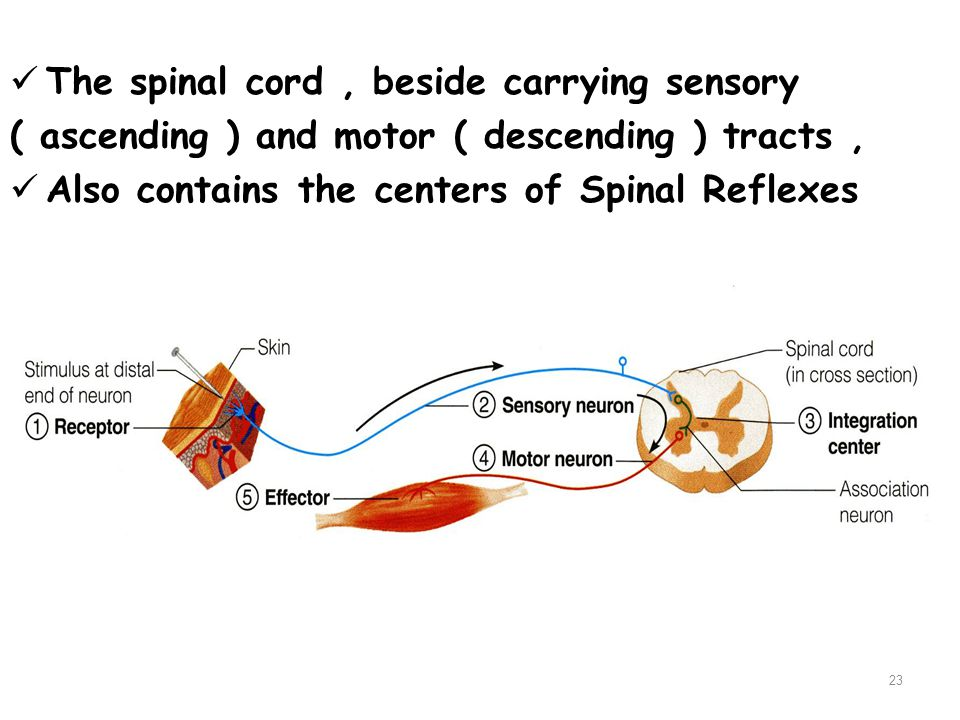 The spinal cord , beside carrying sensory
