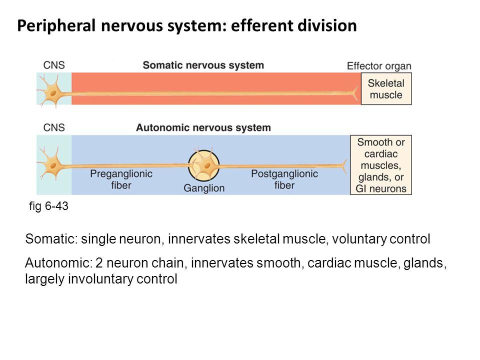Peripheral nervous system: efferent division