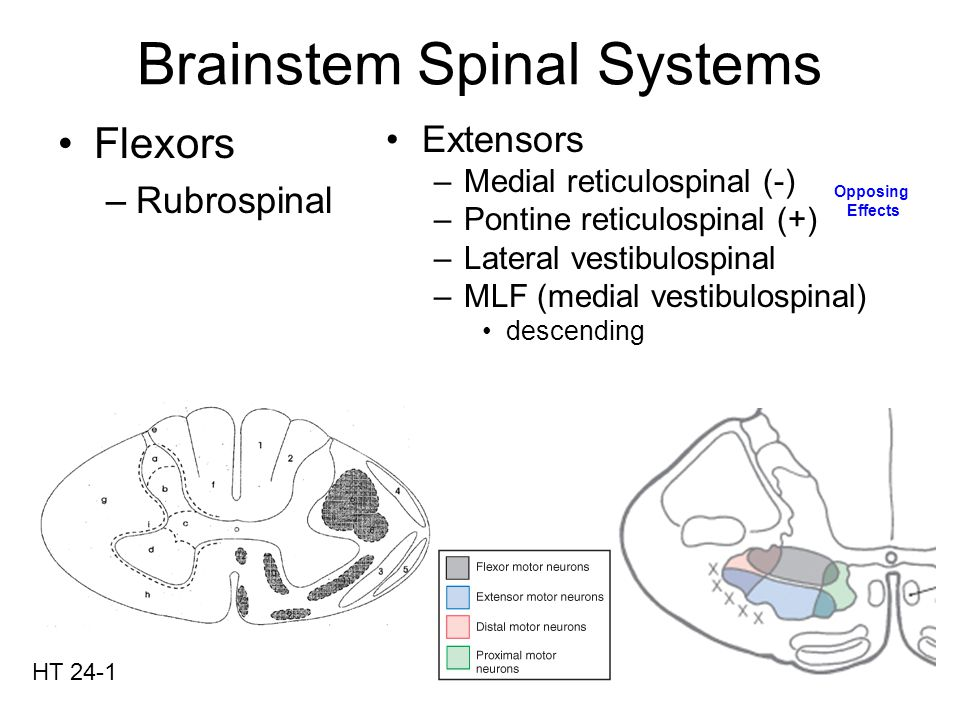 Brainstem Spinal Systems