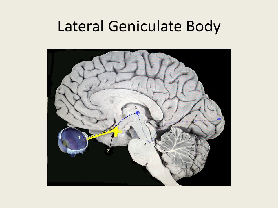 Lateral Geniculate Body